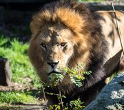 The lion, Panthera leo is one of the four big cats in the genus Panthera royalty free stock photos
