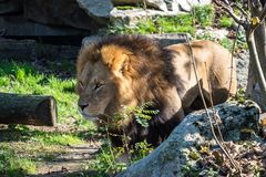 The lion, Panthera leo is one of the four big cats in the genus Panthera royalty free stock image