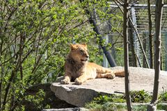 The lion, Panthera leo is one of the four big cats in the genus Panthera stock photos