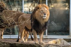The lion Panthera leo is one of the four big cats in the genus Panthera. royalty free stock photography
