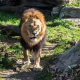 The lion, Panthera leo is one of the four big cats in the genus Panthera royalty free stock images