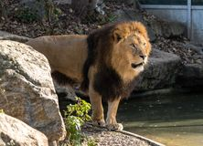 The lion, Panthera leo is one of the four big cats in the genus Panthera. And a member of the family Felidae royalty free stock photography