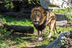 The lion, Panthera leo is one of the four big cats in the genus Panthera. And a member of the family Felidae royalty free stock photo