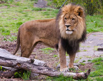 The lion. (Panthera leo) is one of the four big cats in the genus Panthera and a member of the family Felidae. With some males exceeding 250 kg (550 lb) in Stock Image