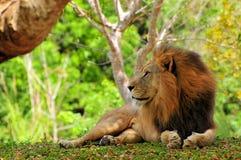 Lion (Panthera leo) posing Stock Photography