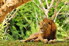 Lion (Panthera leo) posing for photo Stock Photos