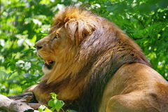 Wild animal. Feline. Lion. Wild animal. Feline. Powerful male lion, in resting time stock photo