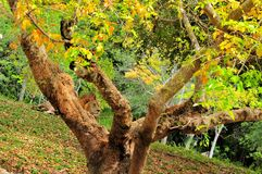 Lion (Panthera leo) resting behind tree Stock Photo