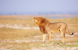 Lion (panthera leo) in savanna royalty free stock images