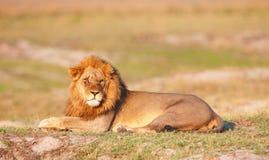 Lion (panthera leo) in savanna Royalty Free Stock Photos