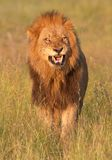 Lion (panthera leo) in savannah Stock Image