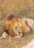 Lion (panthera leo) in savannah Stock Photos