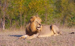 Lion (panthera leo) in savannah Royalty Free Stock Photo
