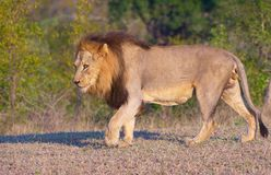 Lion (panthera leo)in savannah. Alert lion (panthera leo) walking in savannah in South Africa royalty free stock image