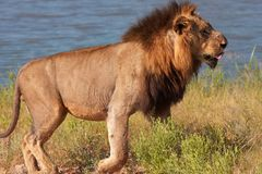 Lion (panthera leo) in savannah Royalty Free Stock Photography