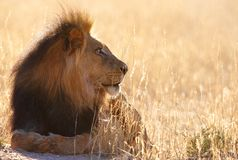 Lion (panthera leo) in savannah Stock Photography