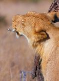 Lion (panthera leo) scratching her head Royalty Free Stock Photo