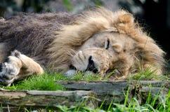 Lion Panthera Leo Royalty Free Stock Photo