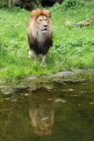 Lion. (Panthera leo) staying before pond Stock Image