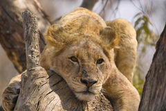 Lion (Panthera leo) in tree, Kruger Nati Stock Photography