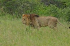 Lion (Panthera leo) Stock Image
