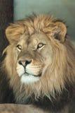 Lion (Panthera leo). Stock Image