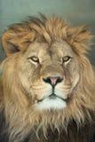 Lion (Panthera leo). Stock Photos