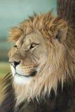 Lion (Panthera leo). Stock Images