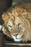 Lion (Panthera leo). stock photo