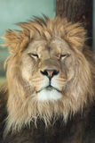 Lion (Panthera leo). Stock Photography