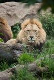 Lion Panthera leo. Stock Photos