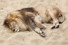 Lion Panthera leo. Stock Images