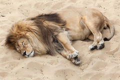 Lion Panthera leo. Royalty Free Stock Photos