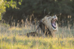 Lion ( Panthera leo) yawning Royalty Free Stock Photo