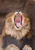 Lion yawns Stock Photos