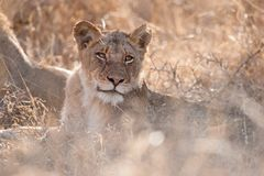 Lion (Panthera leo). Young male lion (Panthera leo) in the african bush Stock Images