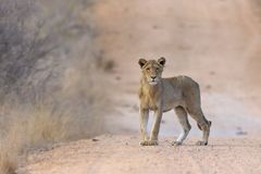 Lion (Panthera leo). Young male lion (Panthera leo) on a sand pad road in the african bush Royalty Free Stock Photos