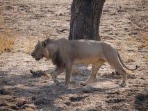 Lion. (Panthera leo) in Zambia Stock Photo