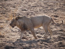 Lion. (Panthera leo) in Zambia Royalty Free Stock Image