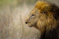 Lion (Panthera Lion) Images stock