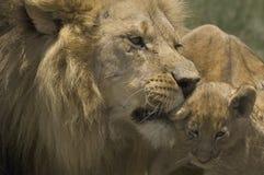 Lion (Panthera Lion) Image stock