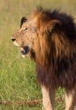 Lion (panthera Lion) dans la savane Photos stock