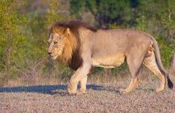 Lion (panthera Lion) dans la savane Image libre de droits