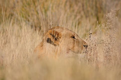 Lion, Panthera Lion, en stationnement national d'Etosha Image stock