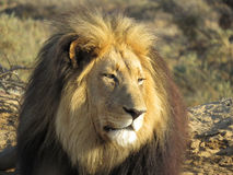 Lion Panthero leo Royalty Free Stock Image