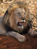 Lion panting Royalty Free Stock Images