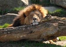 Lion paresseux Photo stock