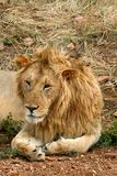 Lion in the park Royalty Free Stock Photo
