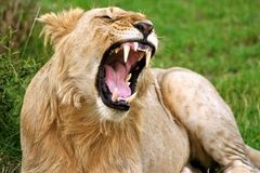 Lion in the park Royalty Free Stock Images