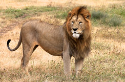 Lion in the park Stock Image